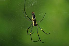 织网的野生大蜘蛛