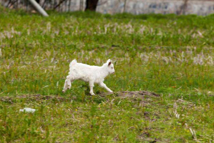 奔跑的小羊羔图片