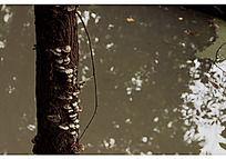 长在水中的枯萎的树干和白色的蘑菇