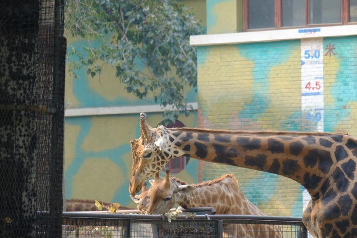 吃草的长颈鹿一家图片