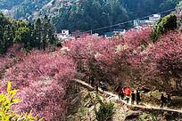 春季到歙县卖花渔村赏梅