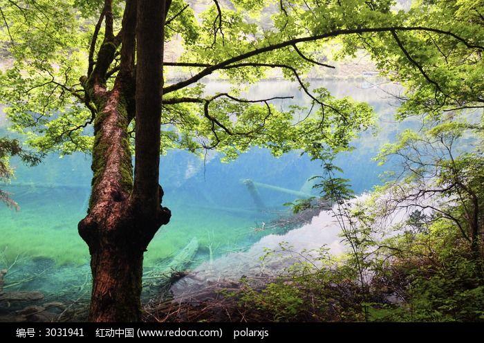 大树 九寨沟 蓝色 湖泊 自然 茂密树林 森林 唯美 如画风景
