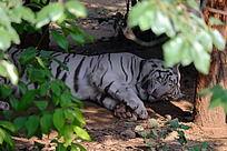 躲在树荫下睡觉的孟加拉虎