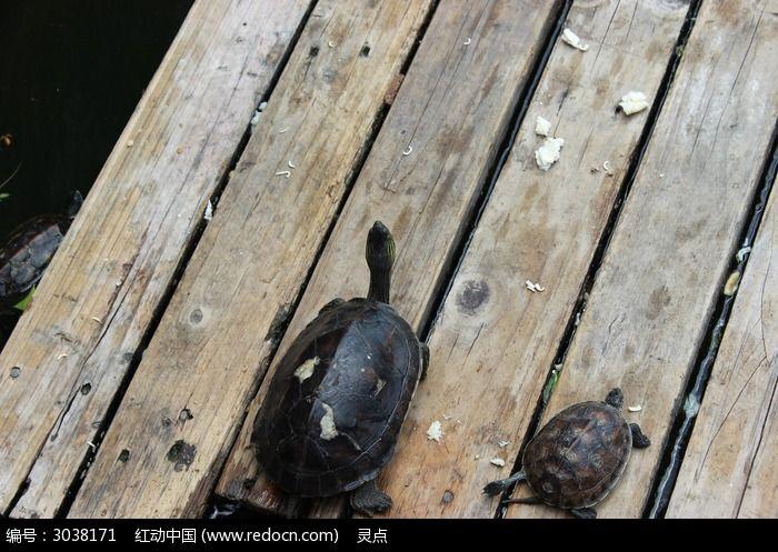 二只褐色龟 水上木板图片