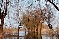 固城湖中的两排树木