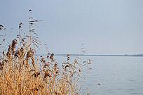 固城湖中迎风的芦苇