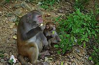 和妈妈一起吃食物的小猴子