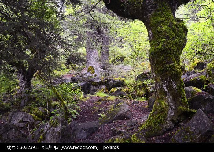 九寨沟里的原始森林图片