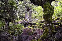 九寨沟里的原始森林
