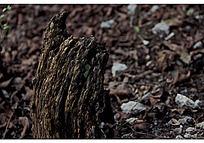 枯萎的老树根