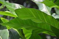 绿色芭蕉叶