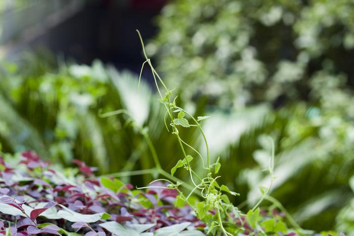 绿色藤蔓植物图片,高清大图