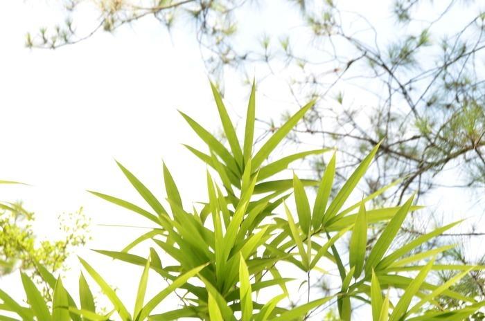 原创摄影图 动物植物 树木枝叶 绿竹叶