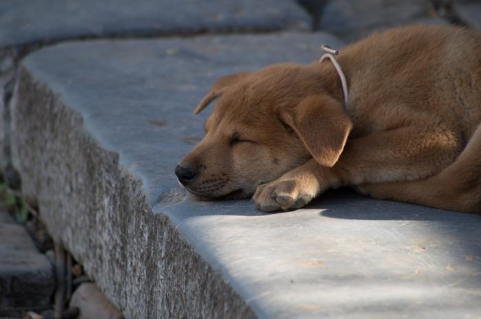 原创摄影图 动物植物 陆地动物 青石条台阶上午睡的黄狗  请您分享