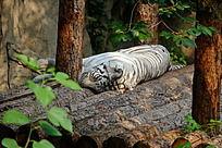 睡觉的孟加拉虎