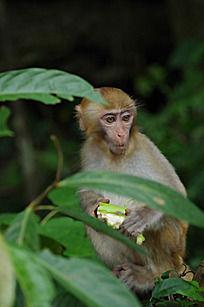 树上吃东西的小猴子