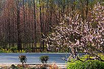 桃花树林公路