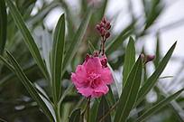 一朵美丽的红色夹竹桃花
