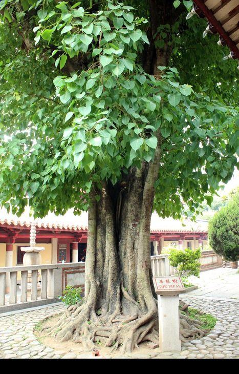 原创摄影图 动物植物 树木枝叶 一颗菩提树  请您分享: 红动网提供