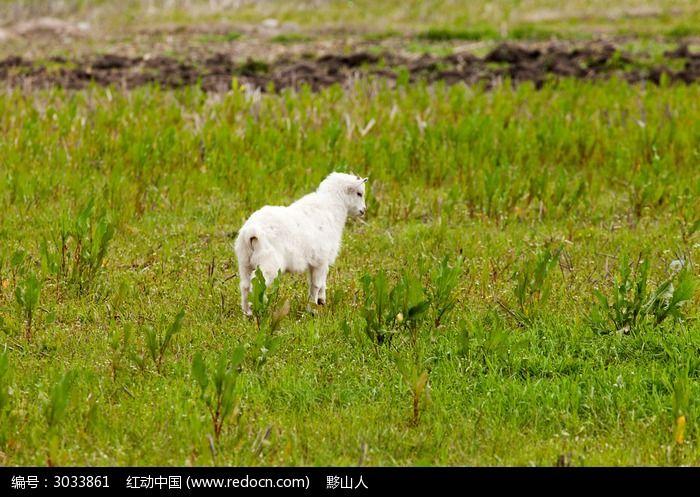 一只落单的小羊羔图片