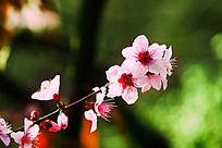 一只美丽的桃花