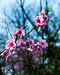 一只盛开的桃花