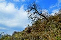 蓝天下兴隆山上的一棵树