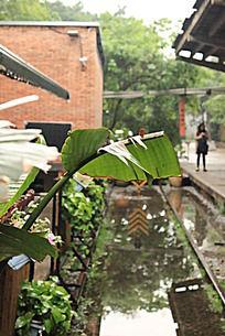雨后广州红砖厂广州小站火车头咖啡馆旁的芭蕉叶