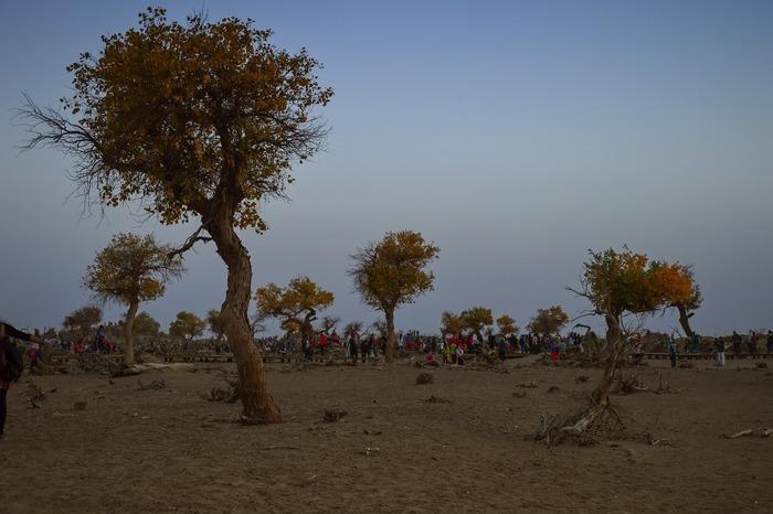 傍晚怪树林中散落的几棵胡杨图片,高清大图_沙漠戈壁