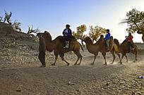 怪树林蓝天下沙漠中的驼队
