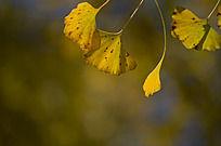 金黄色的银杏叶子