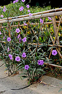盛开的紫色小花