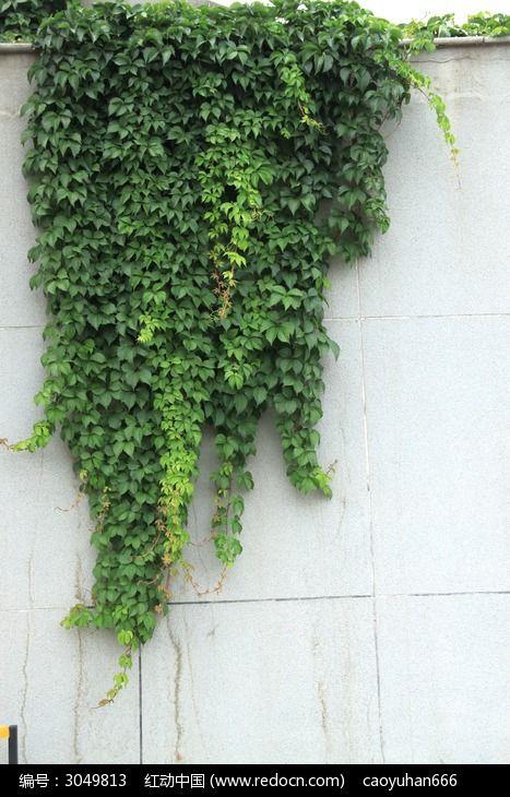 原创摄影图 动物植物 花卉花草 石墙上的绿色爬山虎植物  请您分享