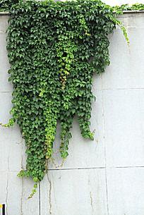 石墙上的绿色爬山虎植物