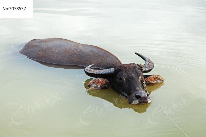 原创摄影图 动物植物 家禽家畜 > 睡卧在浅滩中的耕牛图片  素材编号