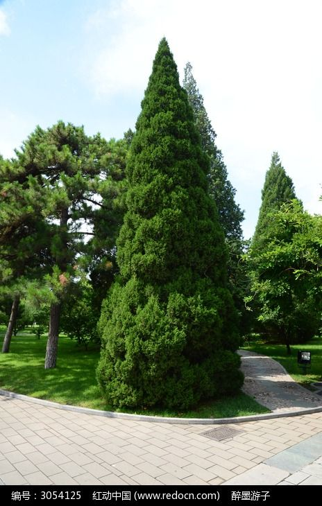 原创摄影图 动物植物 树木枝叶 挺拔的青松  请您分享: 红动网提供