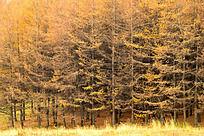 兴隆山上的黄色的树林