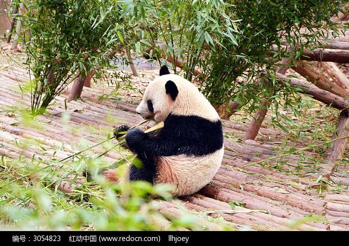 原创摄影图 动物植物 陆地动物 熊猫吃竹子  请您分享: 红动网提供
