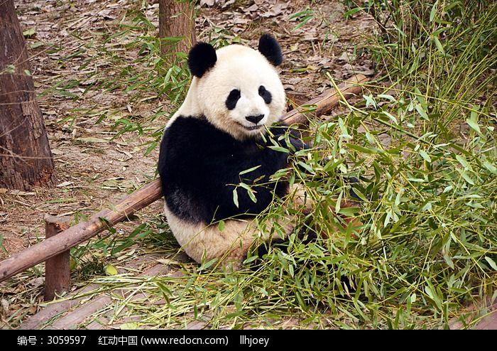 熊猫与竹子的照片