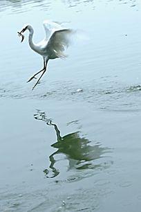 张开翅膀的白鹭