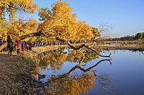 朝阳中胡杨树在水中的倒影