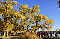 朝阳中金黄的胡杨林和游客