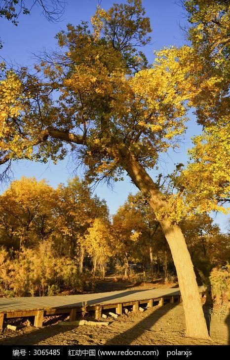 木栈道 额济纳旗 胡杨林 胡杨树 日出 朝阳 树林 沙漠 黄色 如画风景