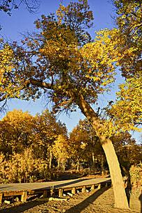 朝阳中金黄的胡杨树