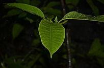 广玉兰枝叶丛林绿色植被图片