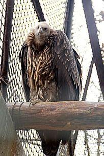 笼子里的秃鹰秃鹫