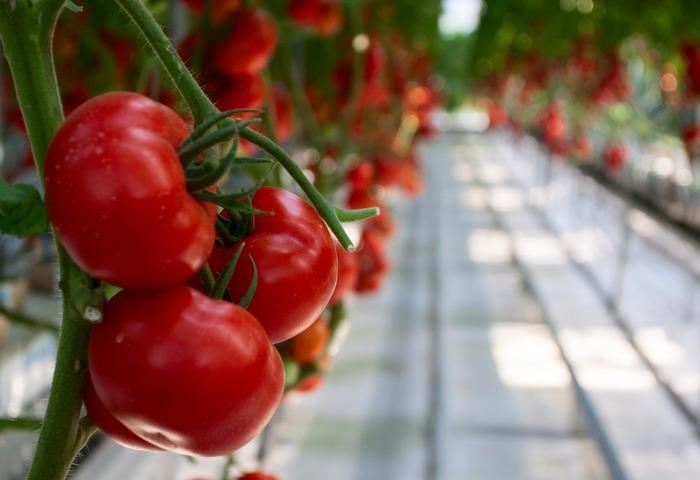 原创摄影图 动物植物 农作物 盆栽西红柿特写  请您分享: 红动网提供