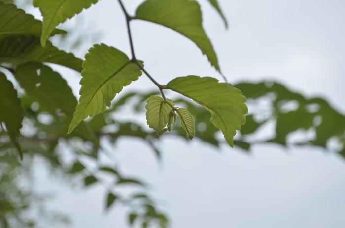 原创摄影图 动物植物 树木枝叶 清晨中的榉树