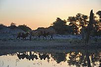 日出时走在河边的骆驼