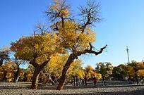 沙地上欣欣向荣的胡杨树